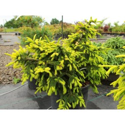 Picea orientalis Lemon Spreader