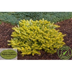 Abies koreana Orange Glow