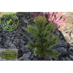 Pinus aristata Lemon Frost