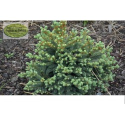Picea pungens Eiselt Select
