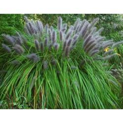 Pennisetum alopecuroides Moudry w C-3