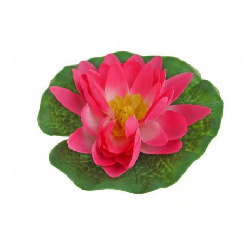 Lilia wodna mała, różowa