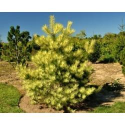 Pinus densiflora Burkes red Variegated