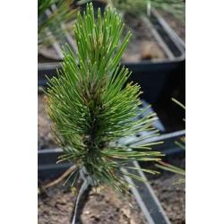 Pinus nigra Honorio Fastigiata