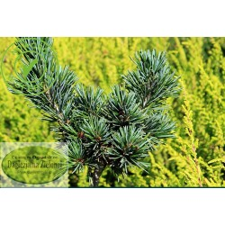 Pinus parviflora Goyo-Hasen-Himi