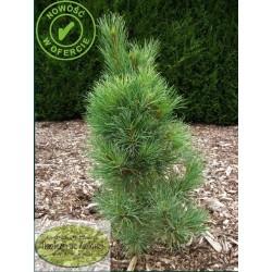 Pinus peuce Cesarini