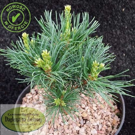 Pinus parviflora Little Hedgehog