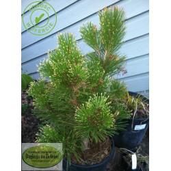 Pinus leucodermis Mecky