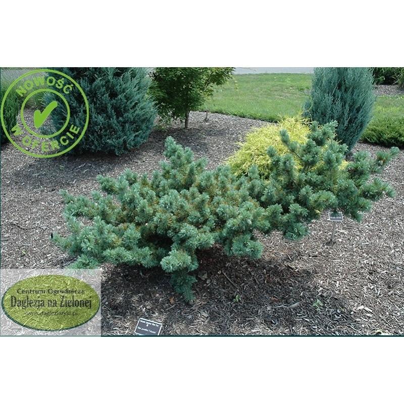 Pinus parviflora Fuku-Zumi