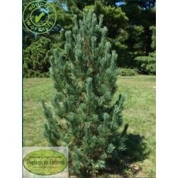 Pinus cembra Aristocrat