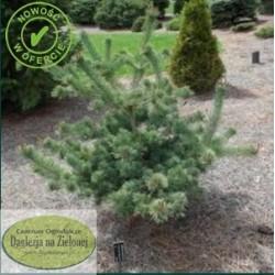 Pinus parviflora Bergman Select