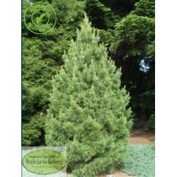 Pinus cembra Chalet