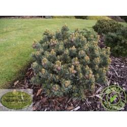 Pinus parviflora Regenhold Broom
