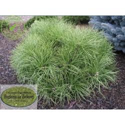 Pinus ponderosa Margaret