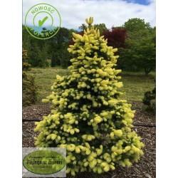 Picea pungens Gebells Golden Spring