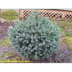 Picea breweriana Emerald Midget
