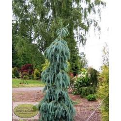 Picea engelmannii Bush Lace