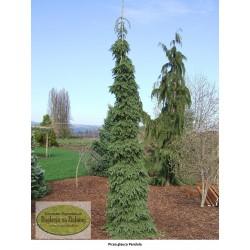 Picea glauca Pendula