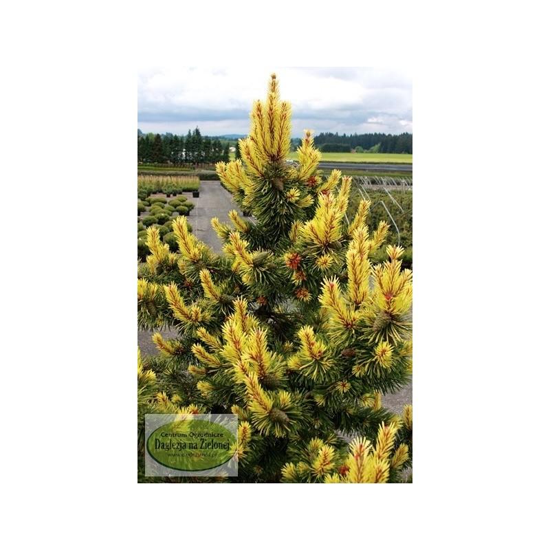 Pinus contorta Taylor's Sunburst