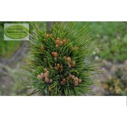 Pinus leucodermis Athena