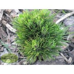 Pinus leucodermis Conica Beran