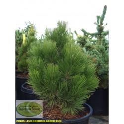 Pinus leucodermis Green Bun