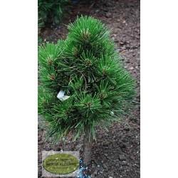 Pinus leucodermis Grune Lagune