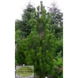 Pinus leucodermis Lindenhof