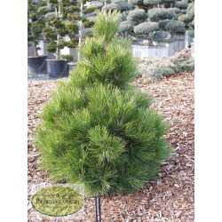 Pinus leucodermis Mint Truffle