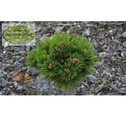 Pinus leucodermis Nidiformis