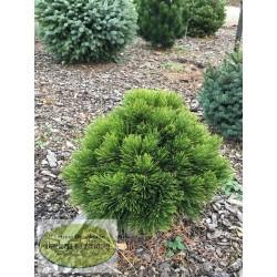 1 Pinus leucodermis OL-2