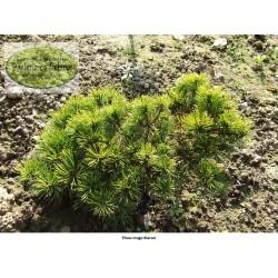 Pinus mugo Bierun