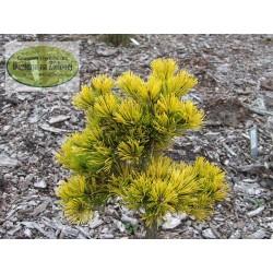 Pinus mugo Starkl Thomas