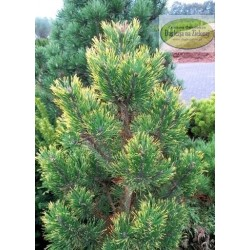 Pinus mugo Yelow Point