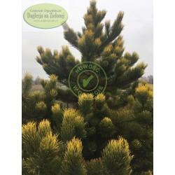 Pinus nigra Wabito