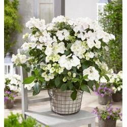 Hydrangea hybrid Runaway Bride®