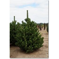 Pinus nigra Oregon Green