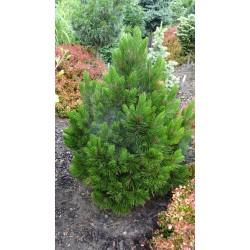 Pinus leucodermis Recko