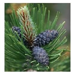 Pinus leucodermis Indigo Eyes