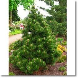 Pinus leucodermis Malinki
