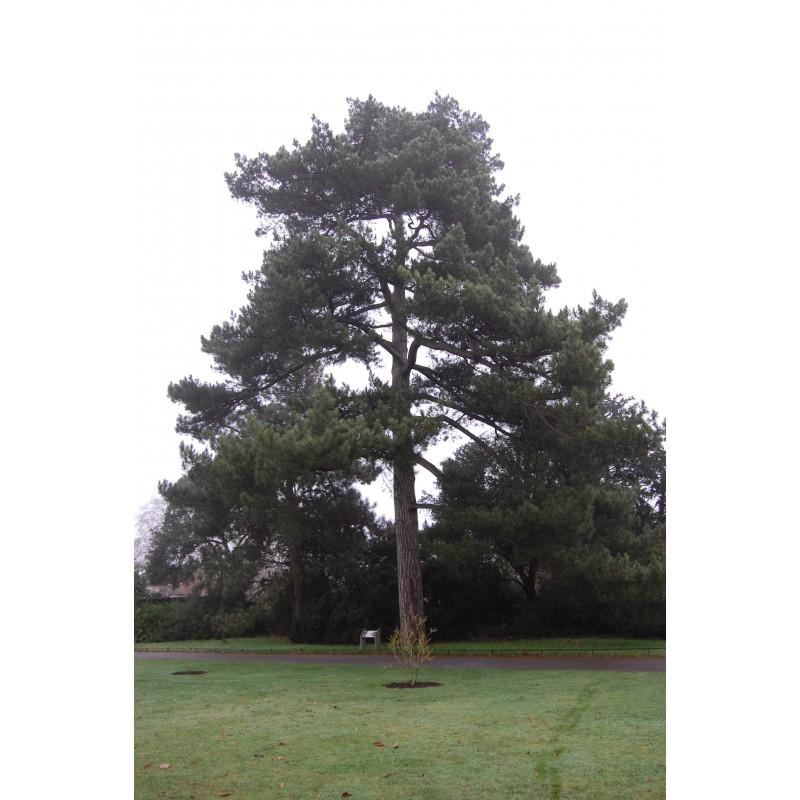 Pinus nigra Maritima