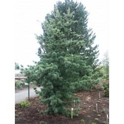 Pinus parviflora Tempelohof