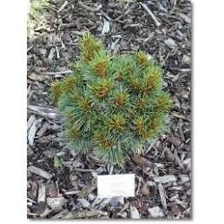 Pinus koraiensis Chanbai