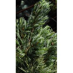 Pinus parviflora Koru