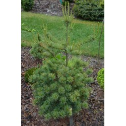 Pinus parviflora Flooy Jou