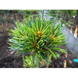 Pinus koraiensis Hexenbesen
