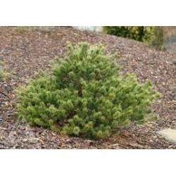 Pinus parviflora Kukuho