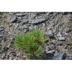 Pinus sibirica 054