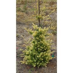 Pinus parviflora Ogon Janome