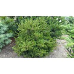 Pinus parviflora Iona